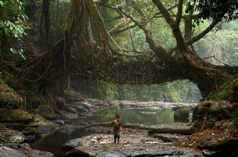 Мосты из корней деревьев в Индии